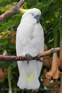 Sulphur Crested Cockatoo Portrait - Cacatua galerita