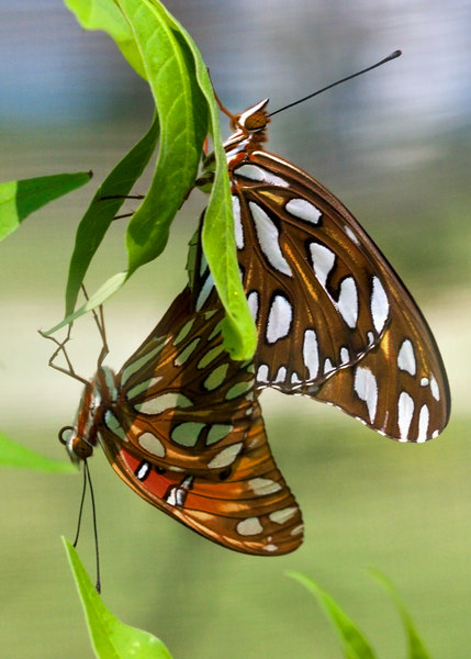 Butterflys Mating