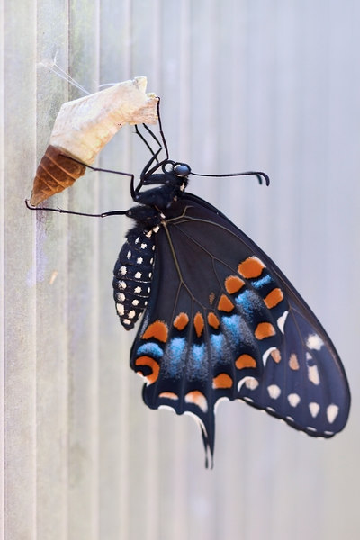 The Newly Emerged Adult Butterfly still with the Chrysalis in which the caterpillar underwent metamorphosis and became a butterfly.