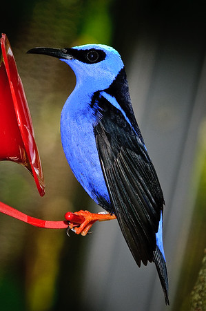 Yellow Legged Honeycreeper
