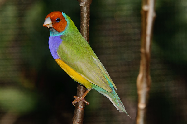 Lady Gouldian Finch