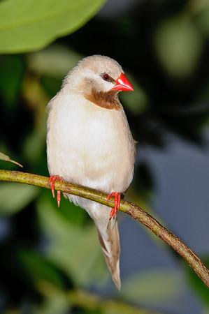 Fawn Shafttail Finch