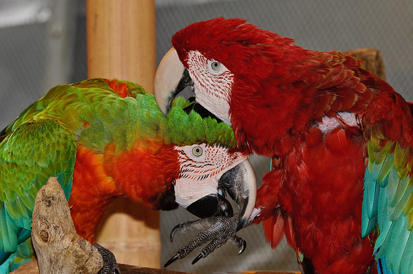 Macaw's grooming