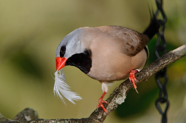 Shafttail Finch
