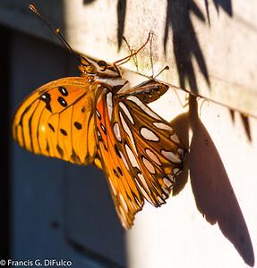 butterfly december 2012