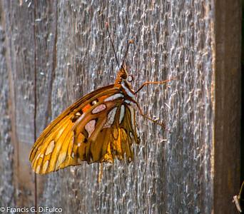 butterfly november 2012