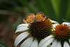 """7/9/2010 """" Elada Checkerspot""""  another front yard capture, this one on a white cone flower."""
