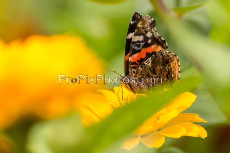Butterflys 5-16-15