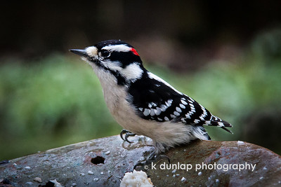 """01.29.15 = Gottcha'!   This little Downy Woodpecker has been hanging around the bird feeder the past few weeks.  It seems every time I ran and grabbed my camera, he took off.  Almost like he knew I had a camera.  Well, I finally got him.  He's a quick little guy, so I'm glad I got one in focus through a rainy window.  I love the little tiny water droplet on his head.      """"Adopt the pace of nature: her secret is patience.""""  Ralph Waldo Emerson"""