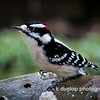 """01.29.15 = Gottcha'! <br /> <br /> This little Downy Woodpecker has been hanging around the bird feeder the past few weeks.  It seems every time I ran and grabbed my camera, he took off.  Almost like he knew I had a camera.  Well, I finally got him.  He's a quick little guy, so I'm glad I got one in focus through a rainy window.  I love the little tiny water droplet on his head.    <br /> <br /> """"Adopt the pace of nature: her secret is patience.""""  Ralph Waldo Emerson"""