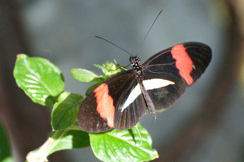Butterfly_Small Postman_DSC2498