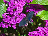 Butterfly_Ruby-spotted Swallowtail_DDD5322