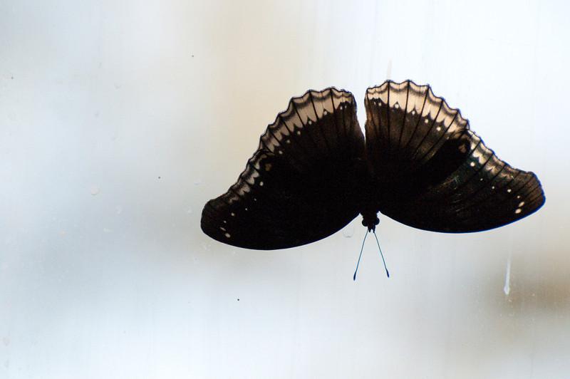 Butterfly_Mourning Cloak_DSC2504