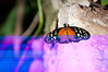 Butterfly_Heliconius Hecale_DSC2586