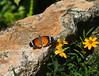 Butterfly_Plain Tiger_DDD5255