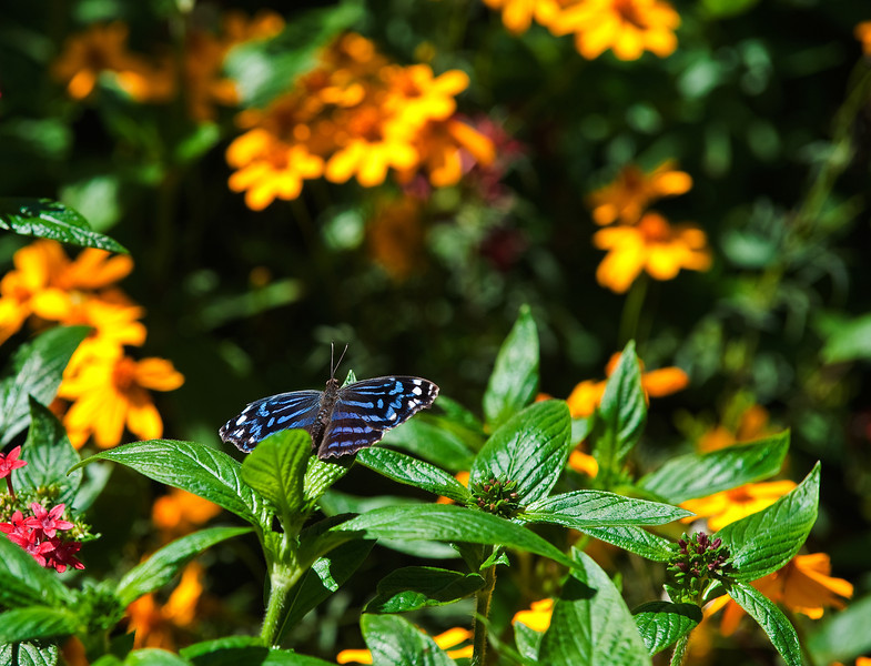 Butterfly_Mexican Blue_DDD5230