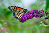 Butterfly_Monarch_Haworth Park_DON2152