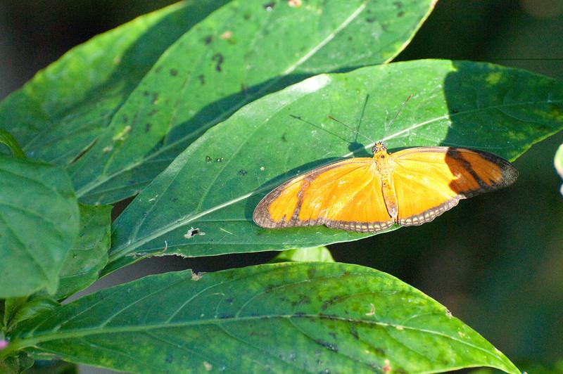 Butterfly_Orange Julia_DSC2633