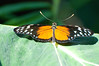 Butterfly_Heliconius Hecale_DSC2513