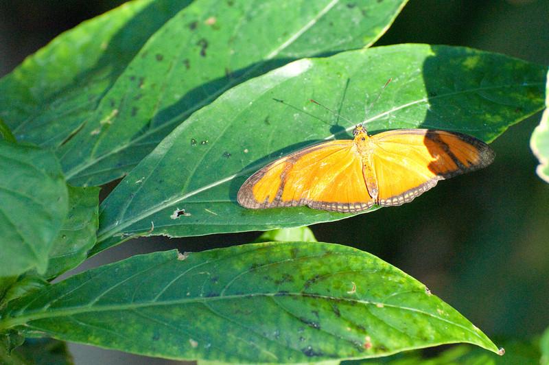 Butterfly_Orange Julia_DSC2632
