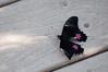 Butterfly_Ruby-Spotted Swallowtail_DSC2591