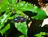 Butterfly_Pink Cattleheart_DDD5128