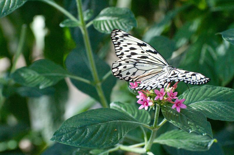 Butterfly_Paper Kite_DSC2461