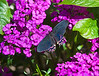 Butterfly_Ruby-spotted Swallowtail_DDD5324