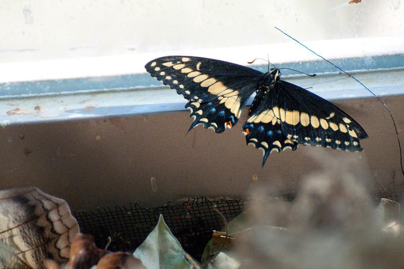 Butterfly_Black Swallowtail_DSC2569