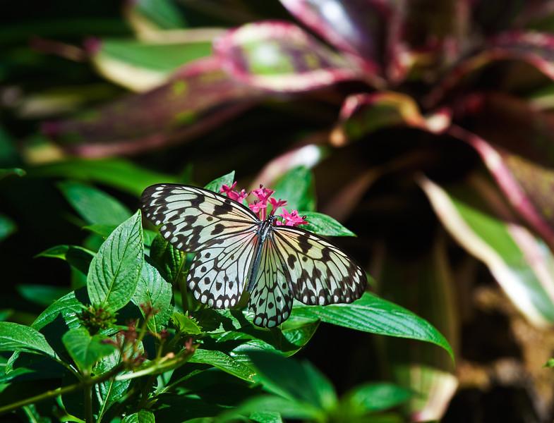 Butterfly_Paper Kite_DDD5069