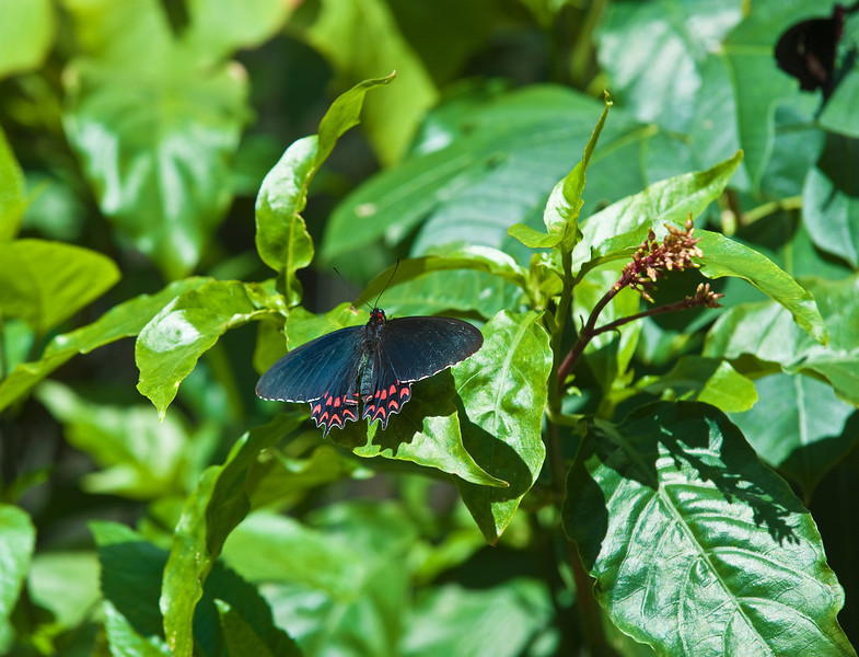 Butterfly_Ruby-Spotted Swallowtail_DDD5119