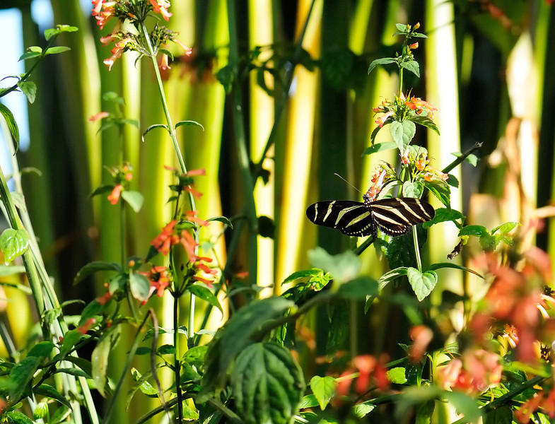Butterfly_Zebra Heliconian_HDZoo_DON1732