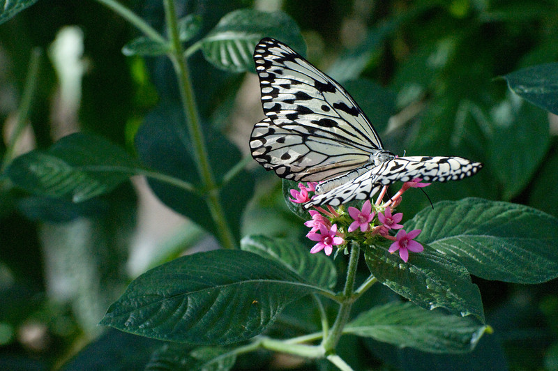 Butterfly_Paper Kite_DSC2460