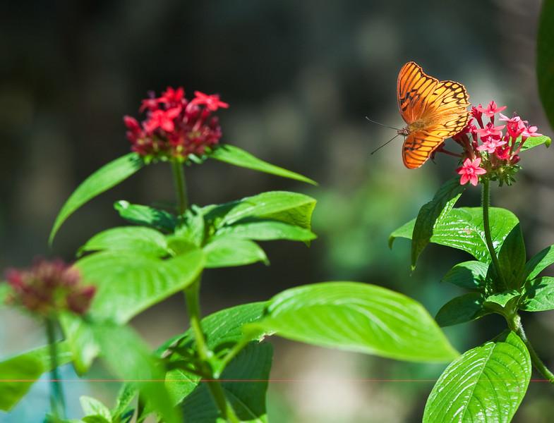 Butterfly_Mexican Silverspot_DDD5097