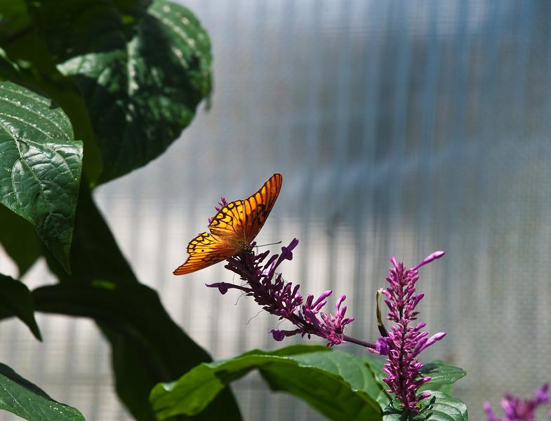 Butterfly_Mexican Silverspot_DDD5170
