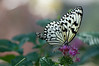 Butterfly_Paper Kite_DSC2455