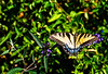 Butterfly_Eastern Tiger Swallowtail_Heron Haven_0804