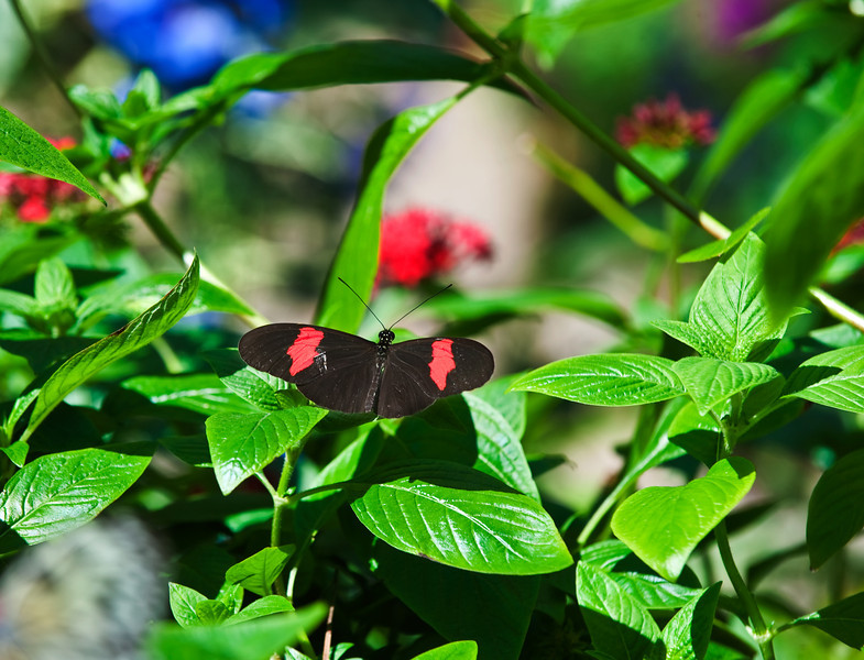 Butterfly_Heliconius_cyrbia_DDD5087