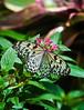 Butterfly_Paper Kite_DDD5066