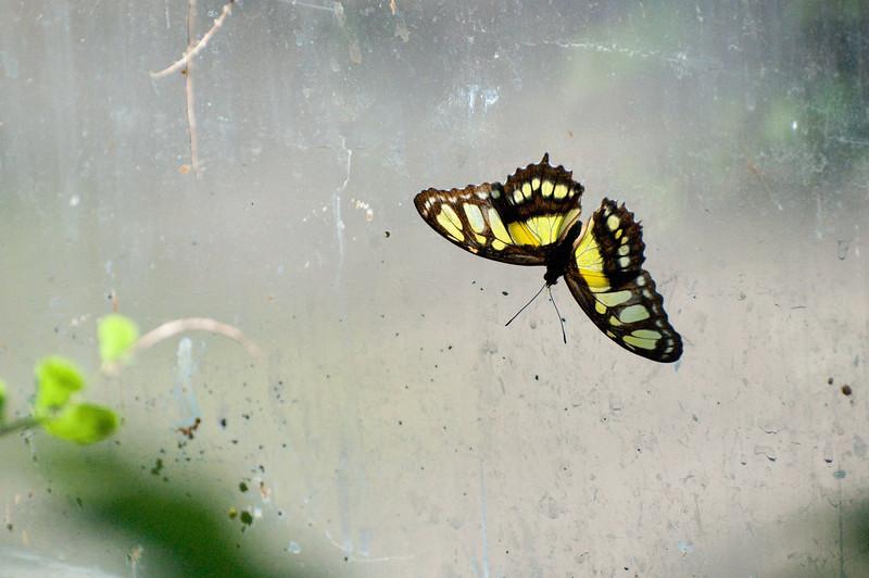 Butterfly_Malachite_DSC2595