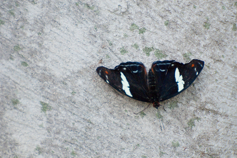Butterfly_Heliconius Sara_DSC2527