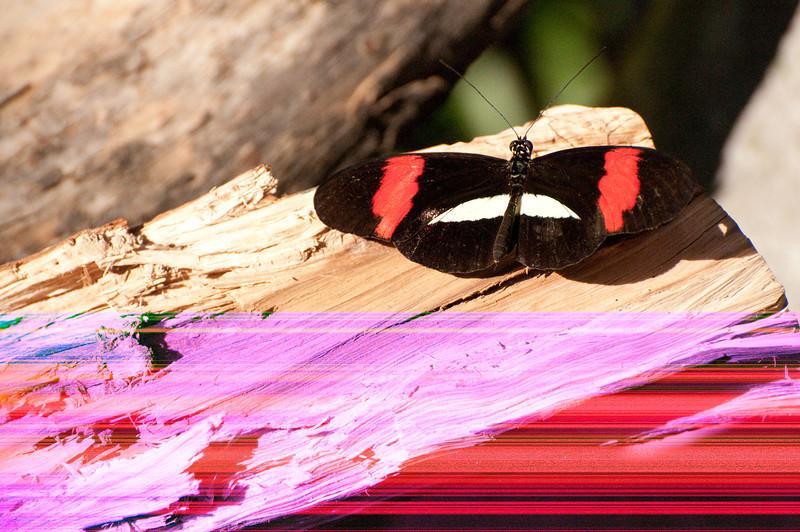 Butterfly_Small Postman_DSC2484