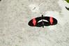 Butterfly_Heliconius Erato_DSC2535