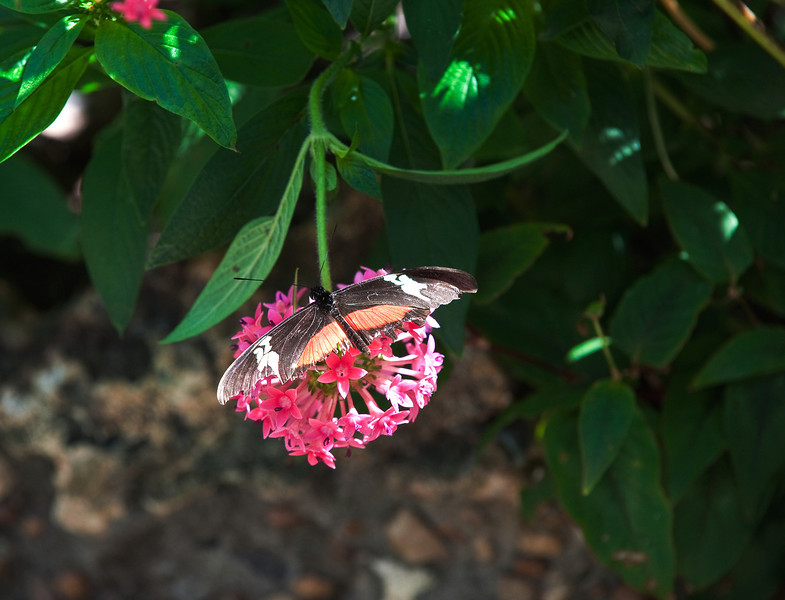 Butterfly_Mexican Heliconian_DDD5204