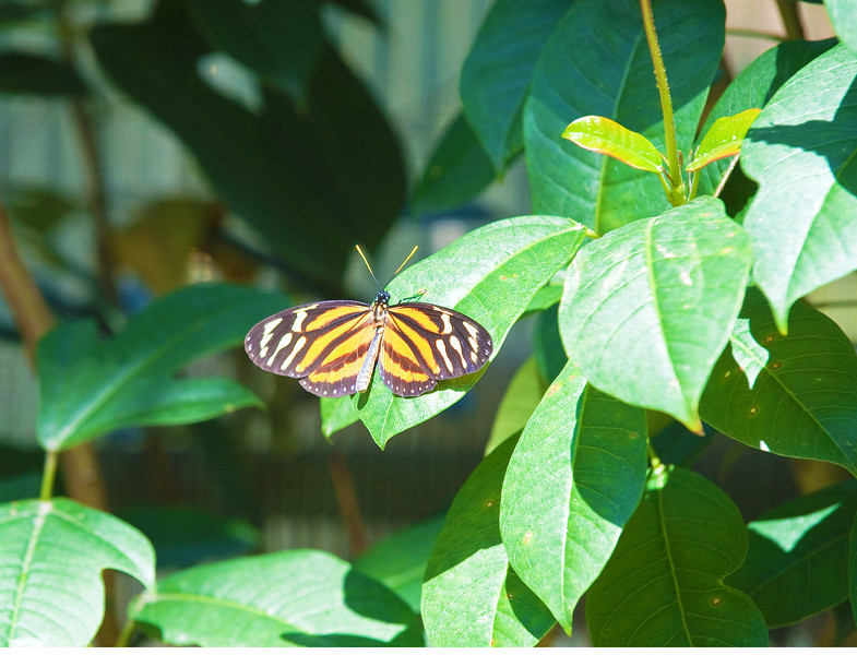 Butterfly_Large Tiger_DDD5140