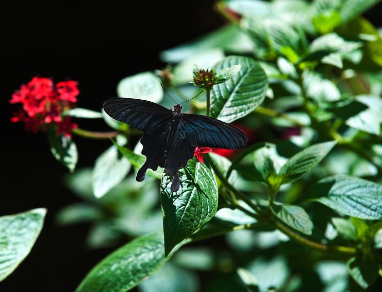 Butterfly_Pink Rose Swallowtail_DDD5282