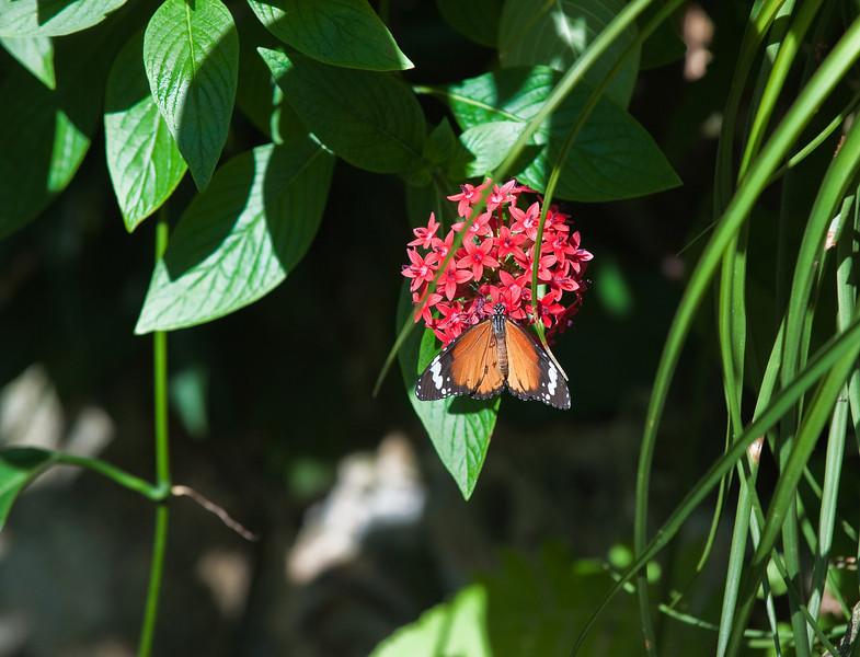 Butterfly_Plain Tiger_DDD5264