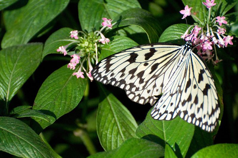 Butterfly_Paper Kite_DSC2531