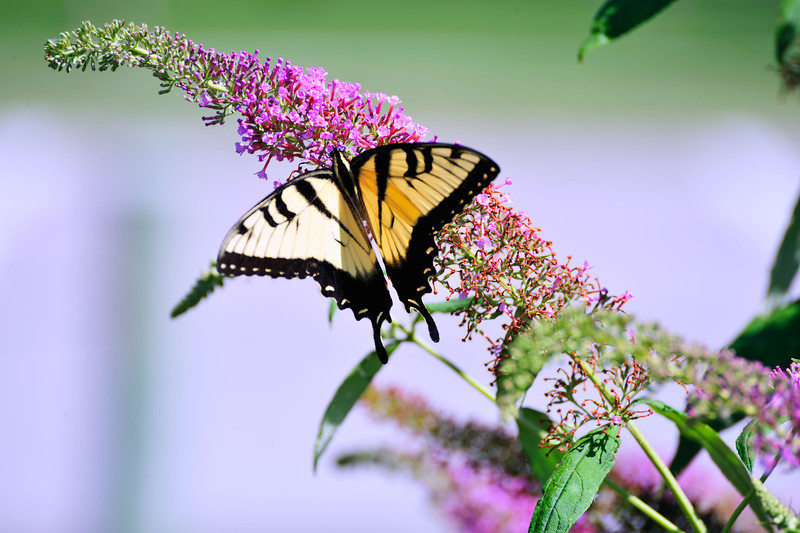 Butterfly_Easter Tiger Swallowtail_Haworth Park_DDD2229