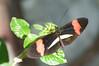Butterfly_Small Postman_DSC2501